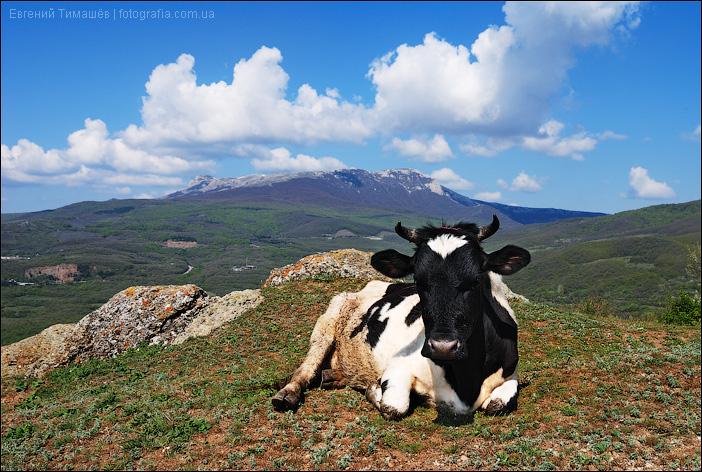 Корова в горах