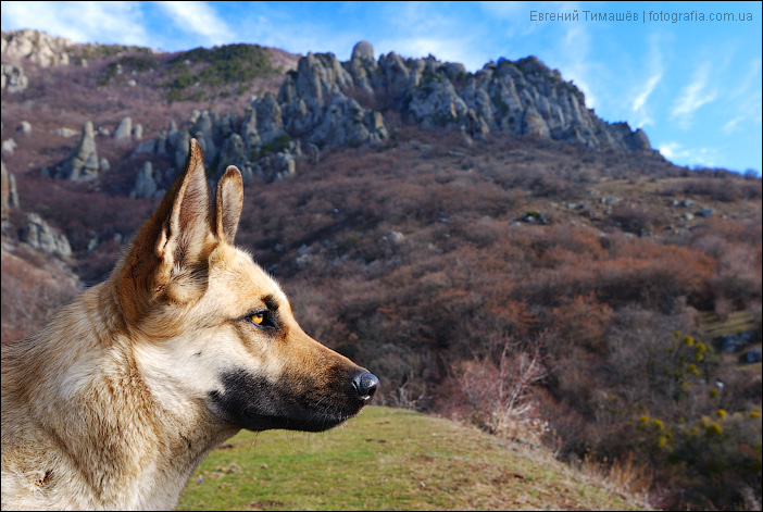 Горная собака, Демерджи