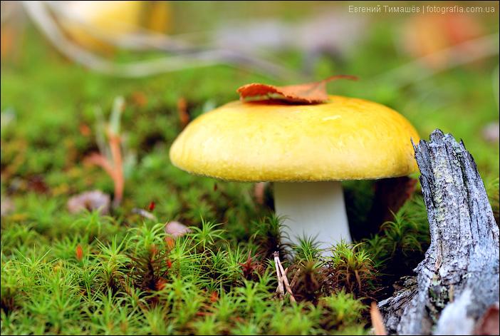 Сыроежка жёлтая (Russula claroflava)