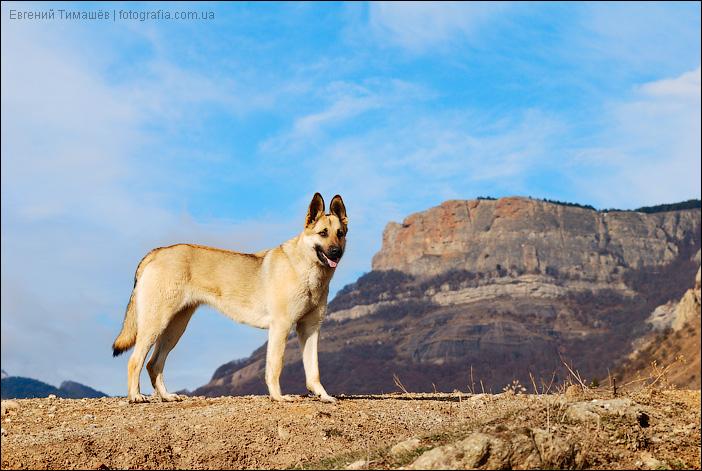 Горная собака