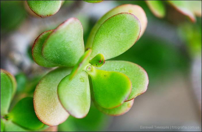 Денежное дерево (Crassula Ovata Minima)