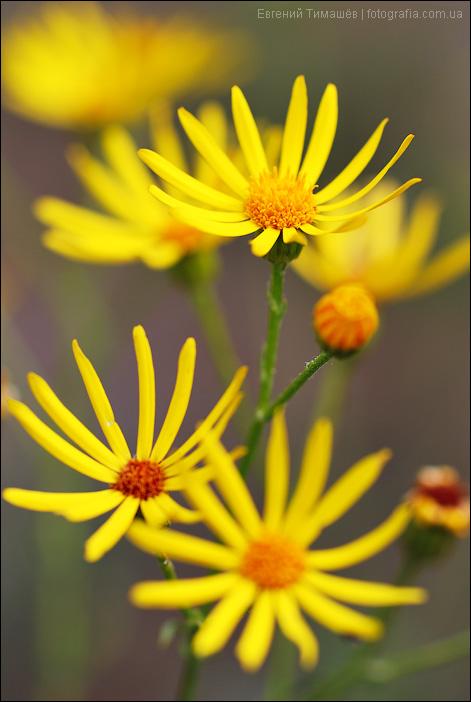 Желтые цветы - Крестовник Якова (Senecio jacobaea)