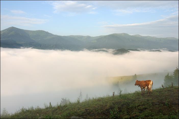 Карпаты, Дземброня, Черногорский хребет, корова, туман