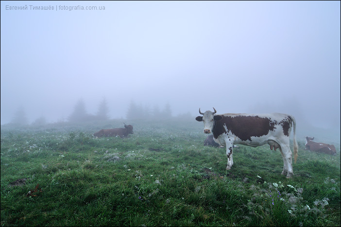 Корова в тумане рано утром, Карпаты