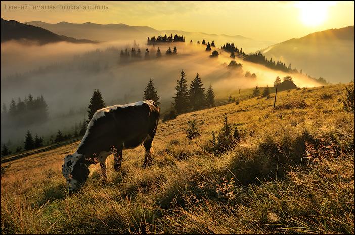 Пасащуяся корова на карпатской полоныне, Дземброня
