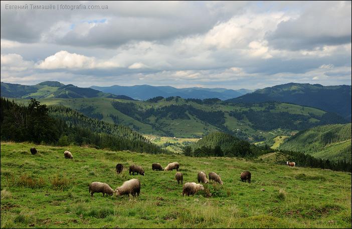 Овцы на полоныне в Карпатах