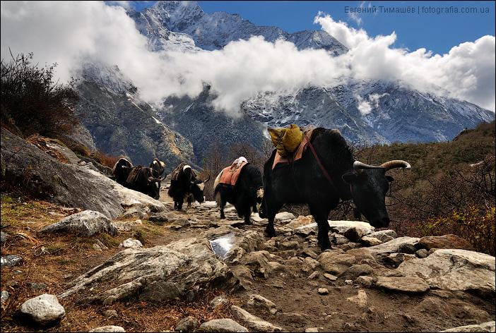Караван яков в Гималаях, Непал