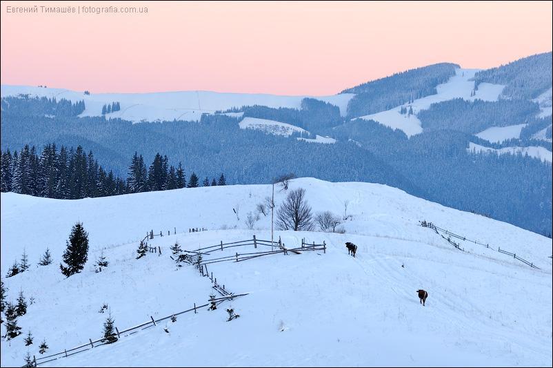 Коровы в горах на закате