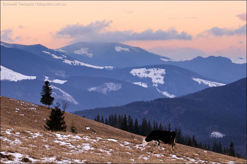 Корова в горах на закате, Карпаты