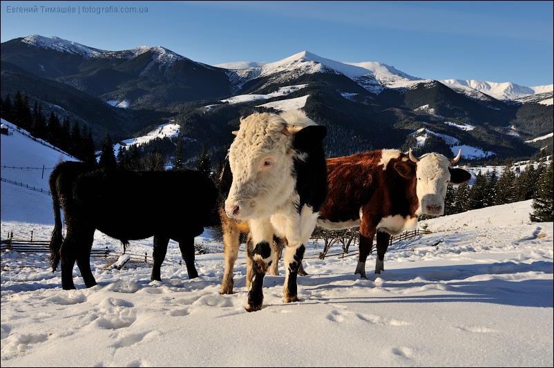 Коровы и быки в горах зимой