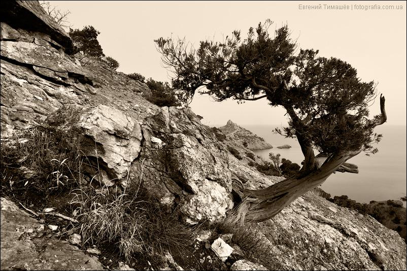 Можжевельник на скалах в Новом свете, Крым