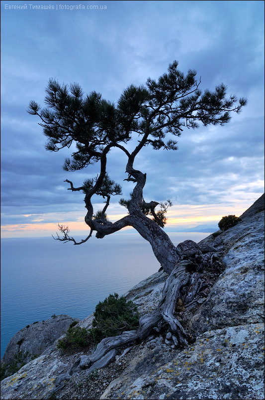 Одинокое дерево можжевельника на скале в Крыму