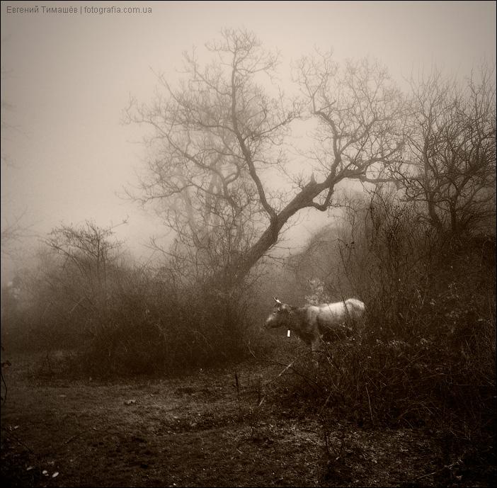 Корова в тумане