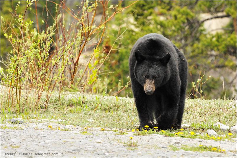 Медведь, Канада