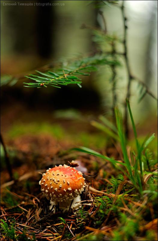 Мухомор в хвойном лесу