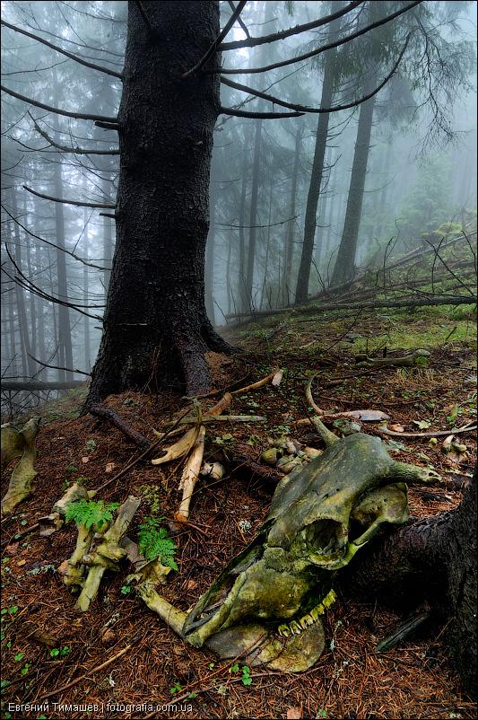 Череп коровы в лесу