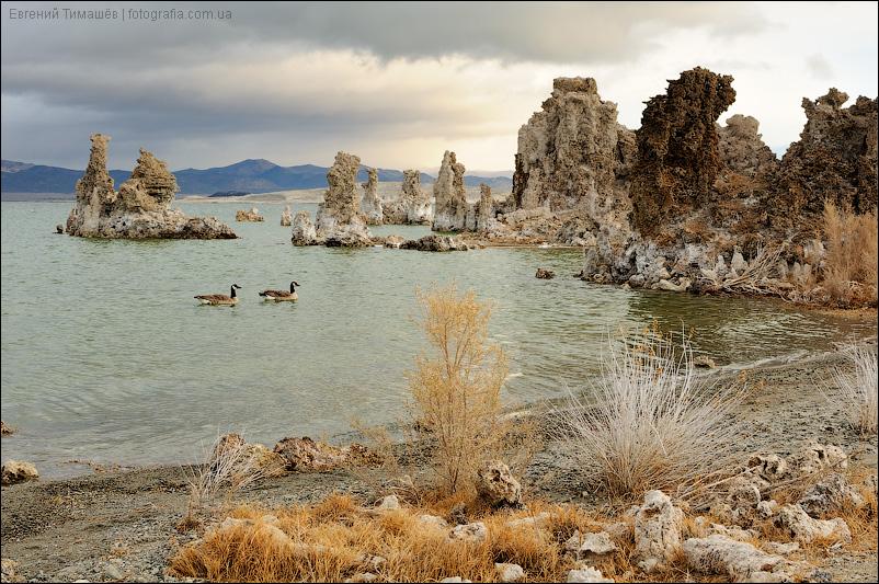Гуси на озере Моно (Mono Lake), США