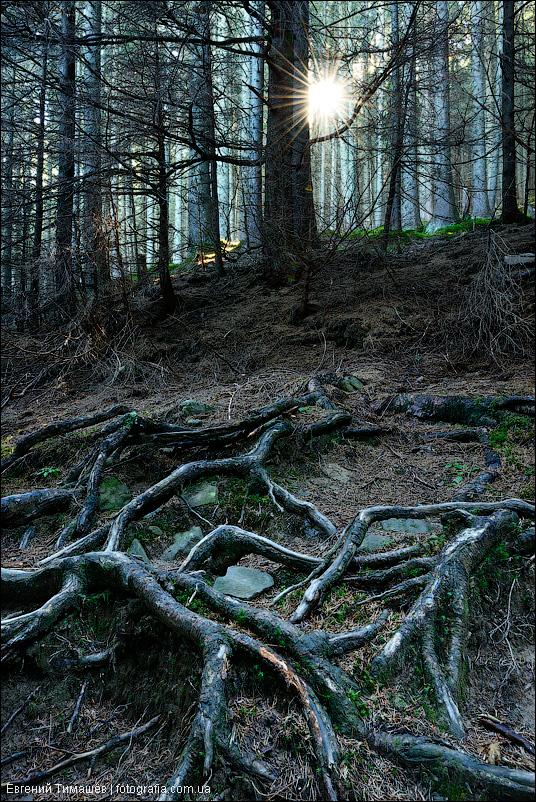 Темный лес в Карпатских горах