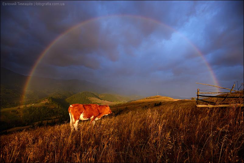 Корова, радуга, горы, Карпаты