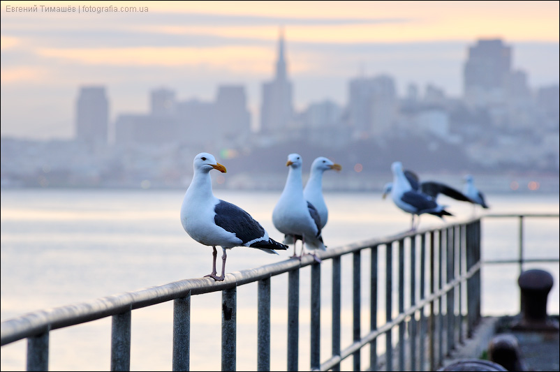 Чайки на пирсе, Сан-Франциско, США