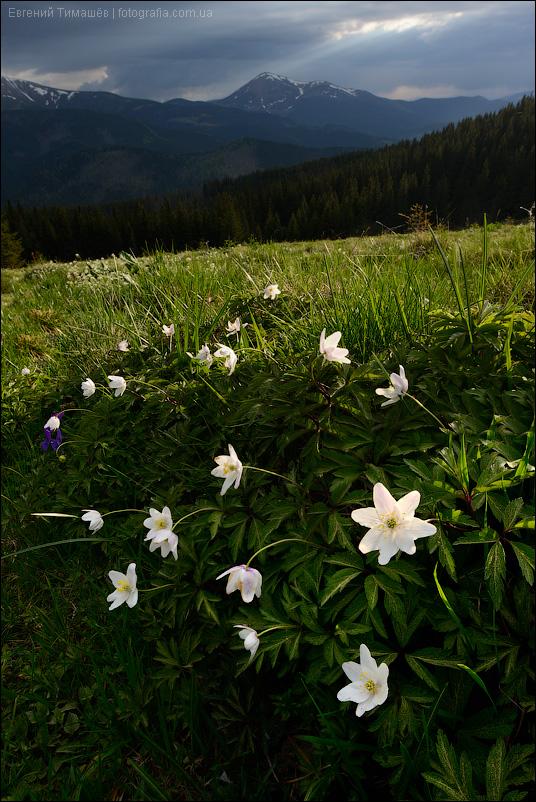 Карпаты, цветы, горы, Ветреница дубравная, Anemone nemorosa