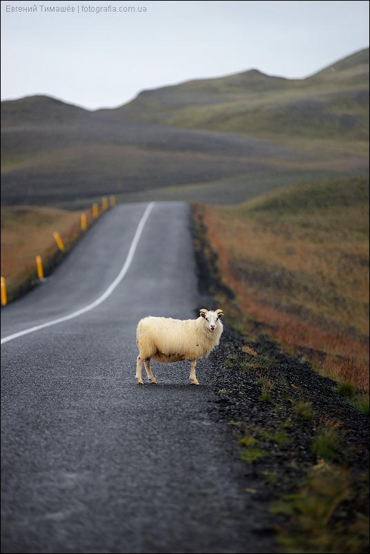 овца на дороге, Исландия