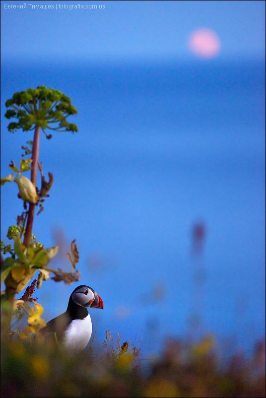 Тупик, Fratercula arctica, Исландия