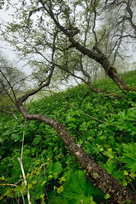 Туманный лес, Кавказ, Тхач