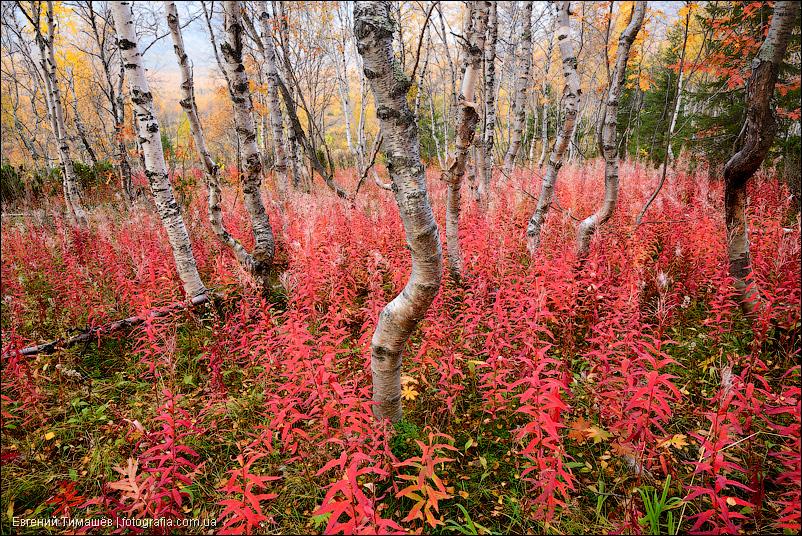 Березы, Хибины, лес, осень