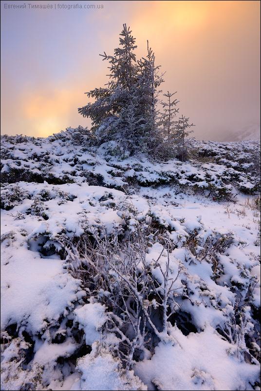 Карпаты, елка, снег, рассвет, Свидовец