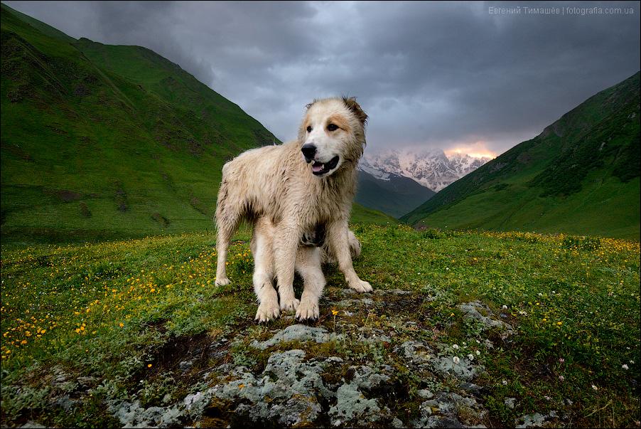 собаки, Грузия, Сванетия, горы