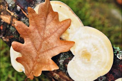 Дубовый листок и грибы
