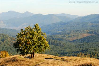 Дерево в Карпатских горах