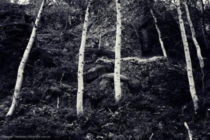 Хибины, лес, березы