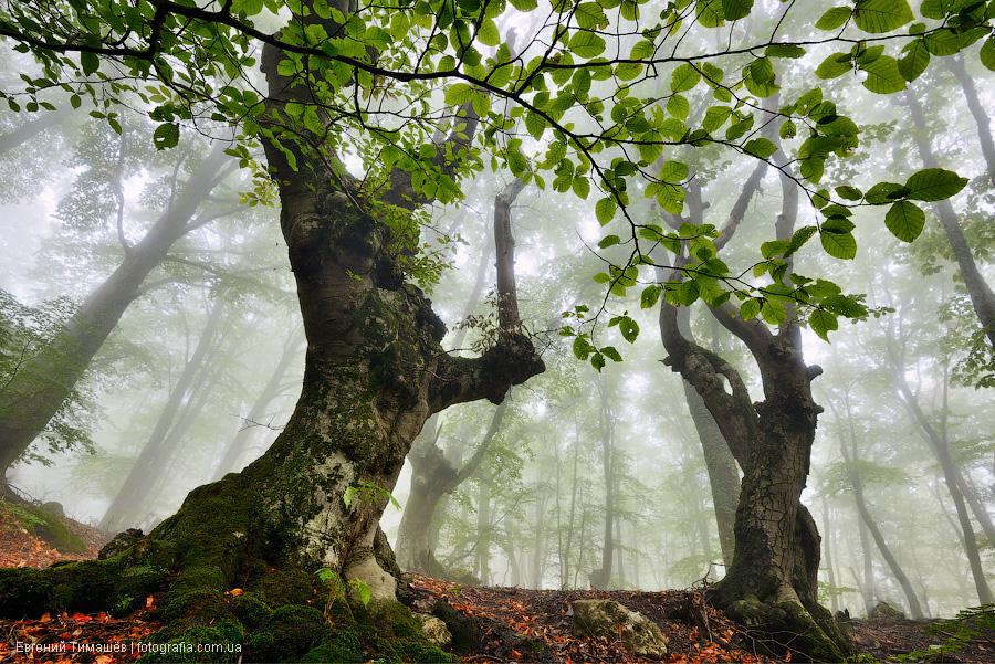 Буковый лес в тумане, Крым, Демерджи
